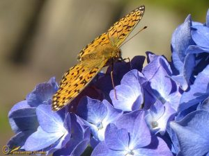 Grote parelmoervlinder – Argynnis aglaja