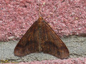Grote wintervlinder - Erannis defoliaria