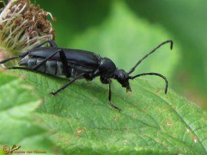Grote zwarte smalboktor - Leptura aethiops