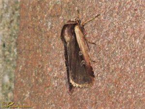 Haarbos - Ochropleura plecta