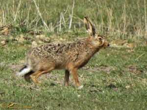 Haas – Lepus europaeus