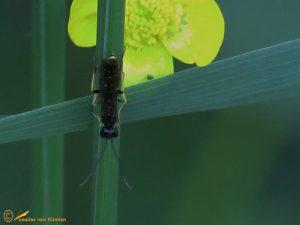 Halmwesp onbekend - Cephidae indet.