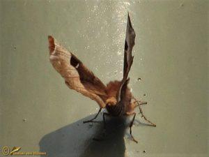 Halvemaanvlinder - Selenia tetralunaria