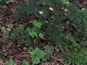 Hartbladzonnebloem - Doronicum pardalianches