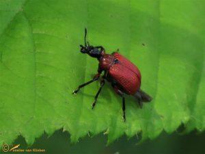 Hazelaarbladrolkever - Apoderus coryli