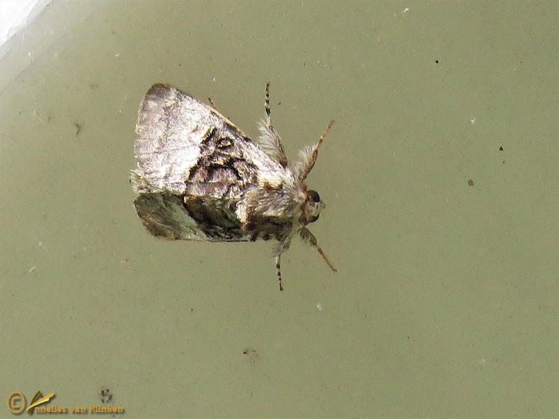 Hazelaaruil - Colocasia coryli
