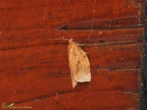 Heggenbladroller - Archips rosana
