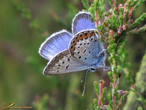 Heideblauwtje – Plebejus argus