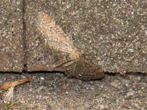 Heidedwergspanner - Eupithecia satyrata