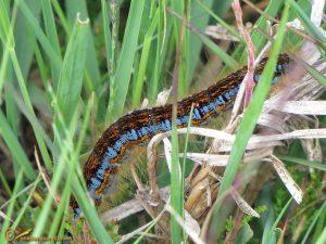 Heideringelrups – Malacosoma castrense