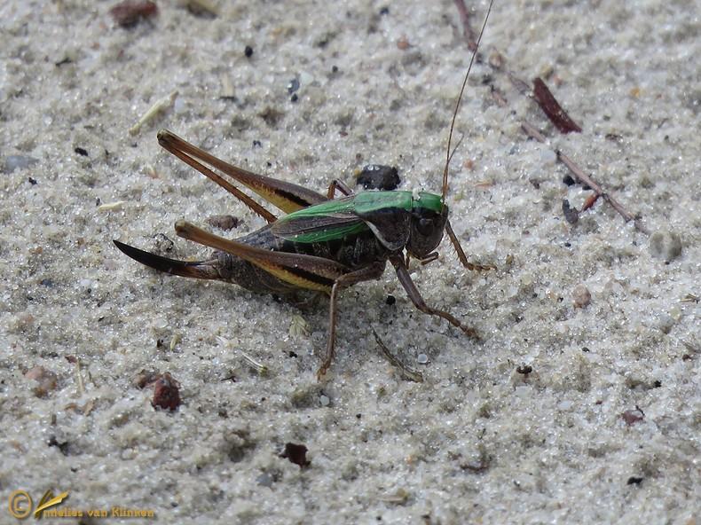 Heidesabelsprinkhaan - Metrioptera brachyptera