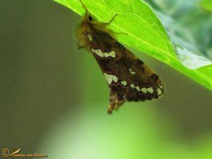 Heidewortelboorder - Phymatopus hecta