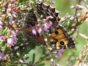 Heivlinder - Hipparchia semele