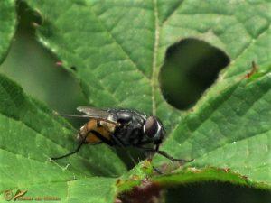 Herfstvlieg - Musca autumnalis