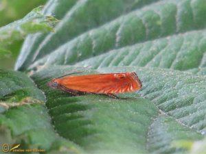 Hertshooibladroller - Lathronympha strigana