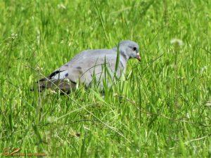 Holenduif – Columba oenas