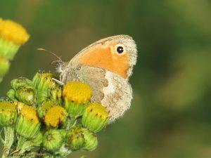Hooibeestje - Coenonympha pamphilus