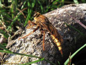 Hoornaarroofvlieg - Asilus crabroniformis ♀️
