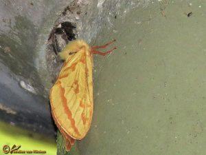 Hopwortelboorder - Hepialus humuli