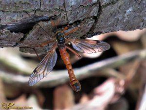 Houtlangpootmug - Tanyptera atrata ♂️