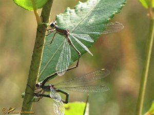 Houtpantserjuffer - Chalcolestes viridis ♂️ ♀️