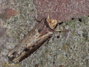 Houtspaander - Axylia putris