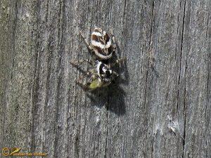 Huiszebraspin - Salticus scenicus