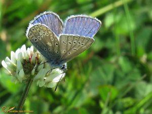 Icarusblauwtje – Polyommatus icarus