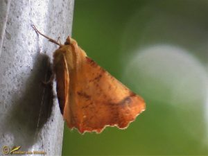 Iepentakvlinder - Ennomos autumnaria