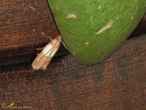 Indische meelmot - Plodia interpunctella