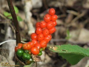 Italiaanse aronskelk - Arum italicum