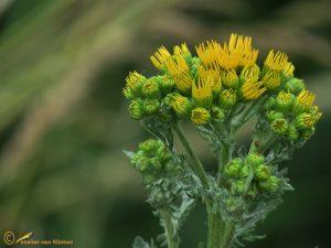 Jakobskruiskruid - Jacobaea vulgaris