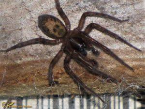 Kaardespin onbekend - Amaurobius spec.