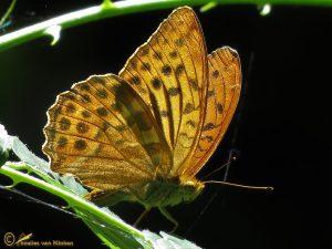 Keizersmantel - Argynnis paphia