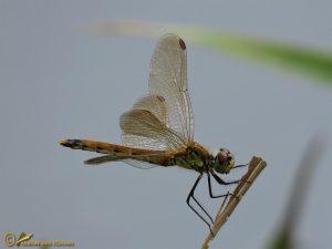 Kempense heidelibel – Sympetrum depressiusculum ♀️