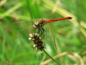 Kempense heidelibel – Sympetrum depressiusculum ♂️