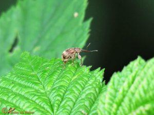 Kersenpitkever - Anthonomus rectirostris