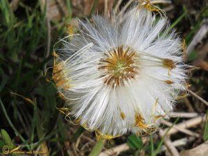 Klein hoefblad – Tussilago farfara