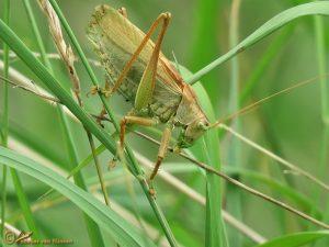 Kleine Groene Sabelsprinkhaan - Tettigonia cantans