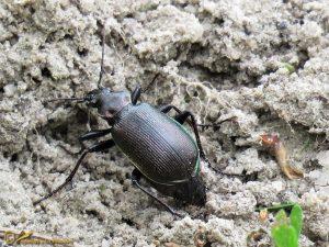 Kleine Poppenrover - Calosoma inquisitor ♀️