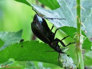 Kleine Poppenrover - Calosoma inquisitor
