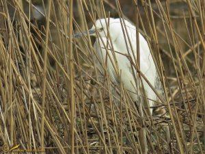 Kleine Zilverreiger – Egretta garzetta