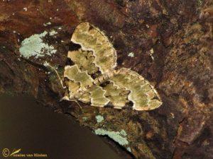 Kleine groenbandspanner - Colostygia pectinataria