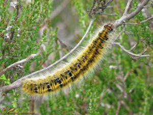 Kleine hagenheld – Lasiocampa trifolii