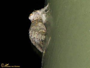 Kleine hermelijnvlinder – Furcula furcula
