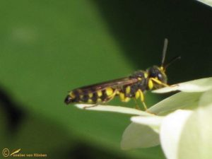 Kleine knoopwesp - Cerceris quinquefasciata