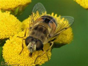 Kleine of Kustbijvlieg - Eristalis arbustorum-abusiva