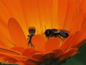 Kleine roetbij - Panurgus calcaratus