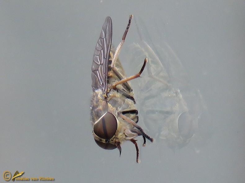 Kleine runderdaas – Tabanus bromius