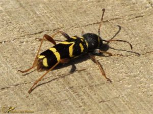 Kleine wespenboktor - Clytus arietis
